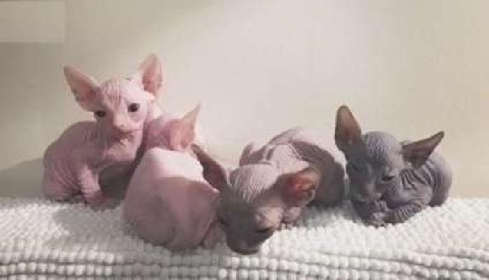 astute Male/Female Sphynx kittens For Sale
