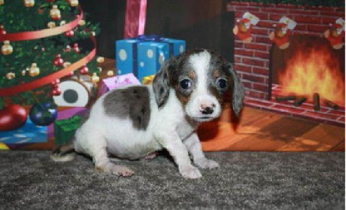 aswed Dachshund Puppies for Sale
