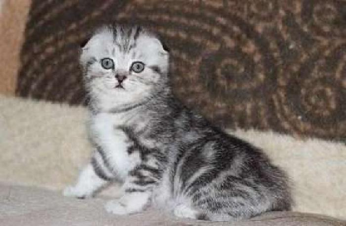 attractive M/F Scottish Fold kittens For Sale