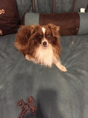 Auggie Puppies For Sale In Dallas Texas Classified Showmetheadcom