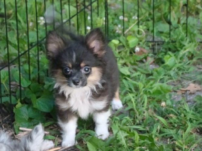 Ausseranian Toy Aussie Pomeranian Puppies For Sale In Charleston