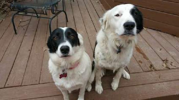 Aussie/Border Collie (mom and son)
