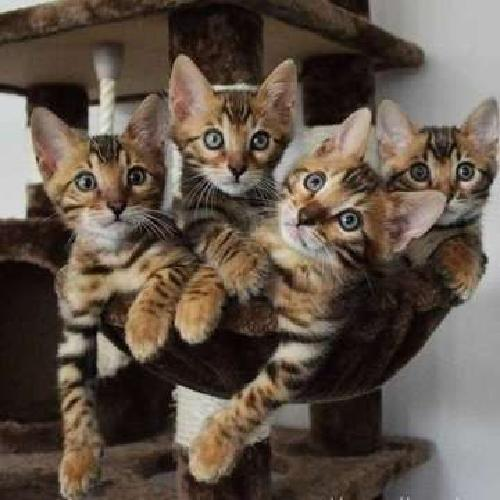 awesome Male/Female Bengal kittens For Sale