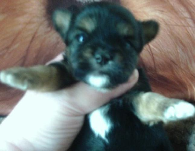 axwtd top quolity yorkie puppies for re-homing