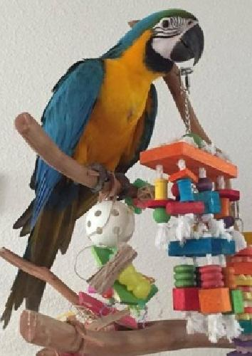B & G Macaw Parrots Available For New Homes