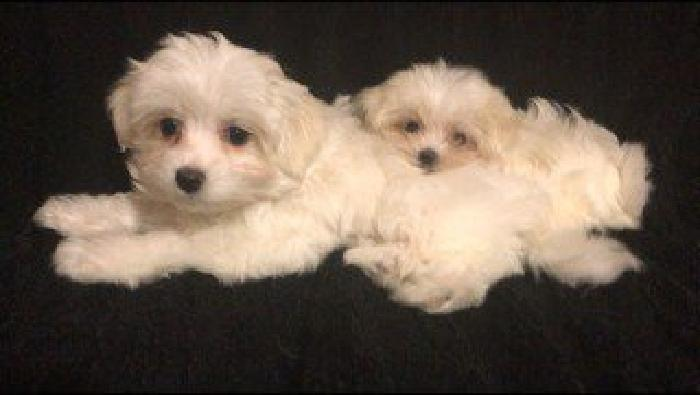 Baby Cute and Tiny Female Maltese Puppies
