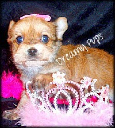 Baby Doll Face Yorkie Female Pup Beautiful Blonde/Gold Tiny Pup Valentine's Day