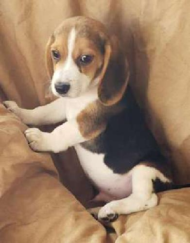 Beagle Puppies! microchipped Tricolored and Lemon