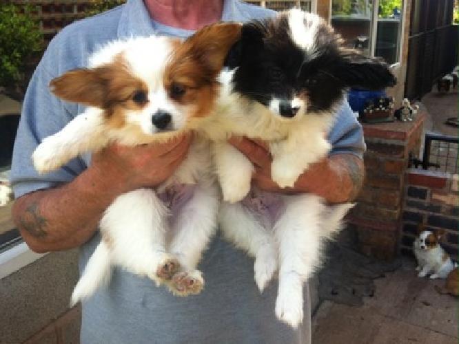 beatifull Papillon Puppies for sale