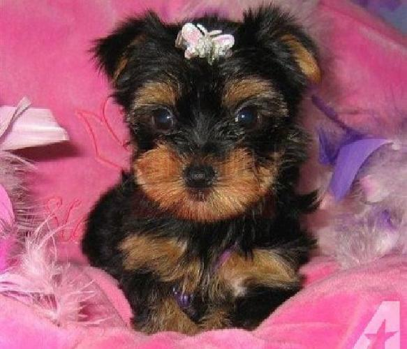 Beautiful akc Yorkie puppies Ready now