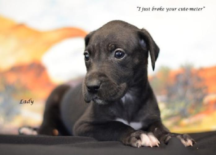 Beautiful Great Dane Puppy in Surprise, AZ