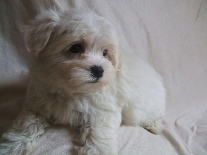 Beautiful Pedigree Maltese Puppies