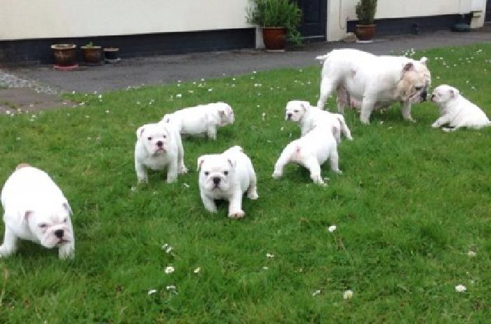 Beautiful Rare All White English Bulldog Puppies Ready To Leave For