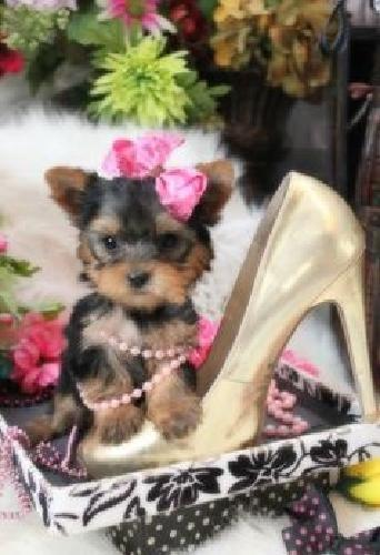 Beautiful Teacup Yorkie Pups Available!/M/F