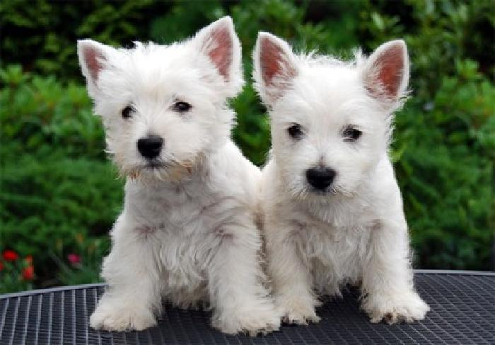 Beautiful West Highland Terriers (Westie) Puppies for sale