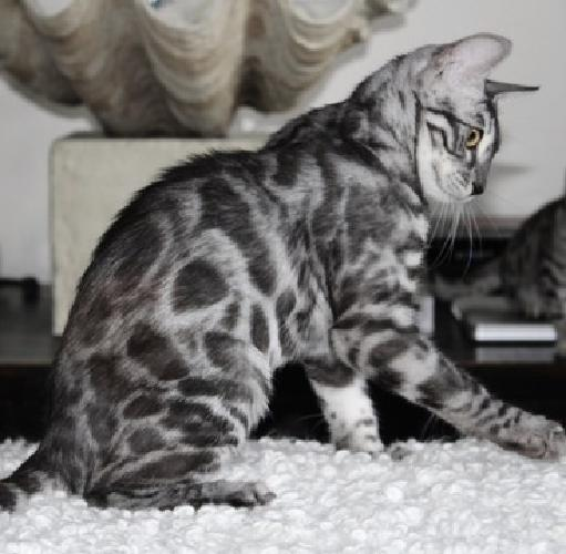 Bengal kitten-rare silver charcoal spotted female