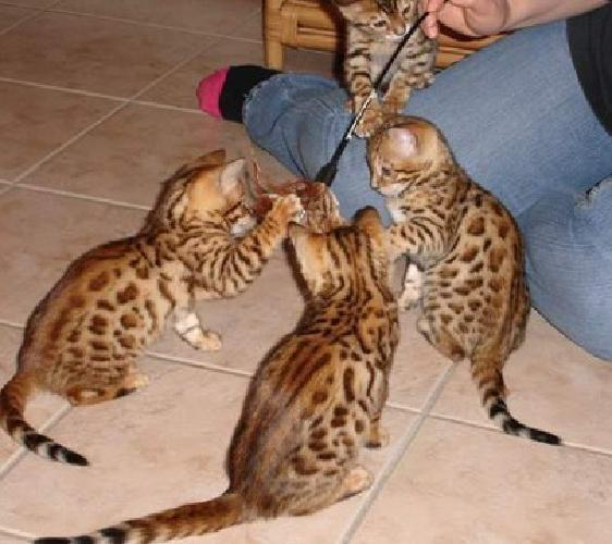 Bengal Kittens Reg Cfa/Tica Available Now