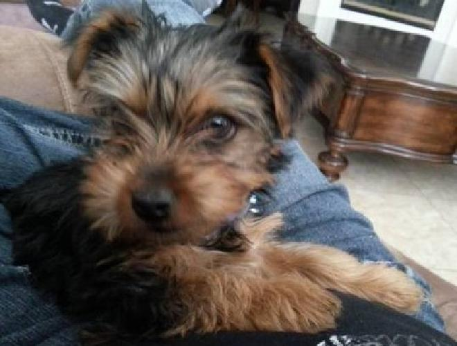Best Teacup Yorkies puppies available for sale