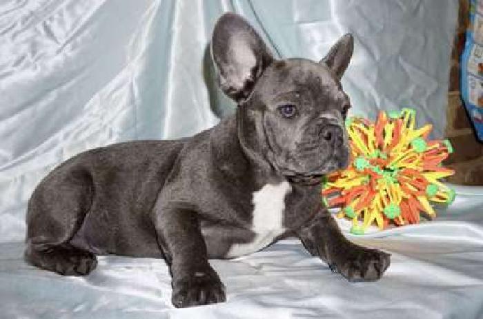 **Big Sale**Blue French Bulldog puppies