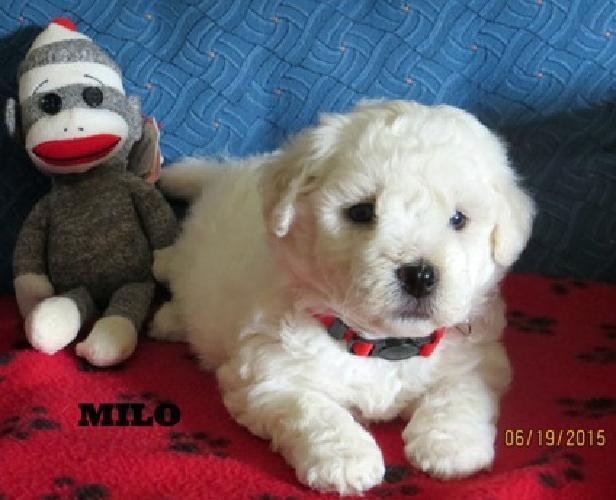 Bishon Frise puppies