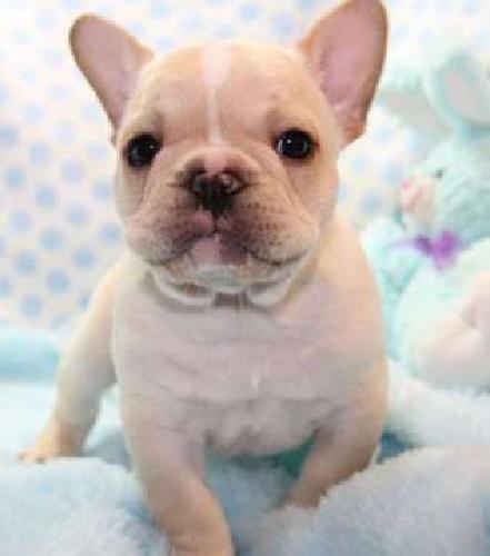 BLU French Bulldog Puppies