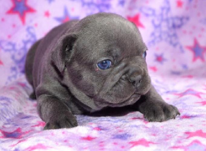 blue akc european french bulldog for sale in seattle