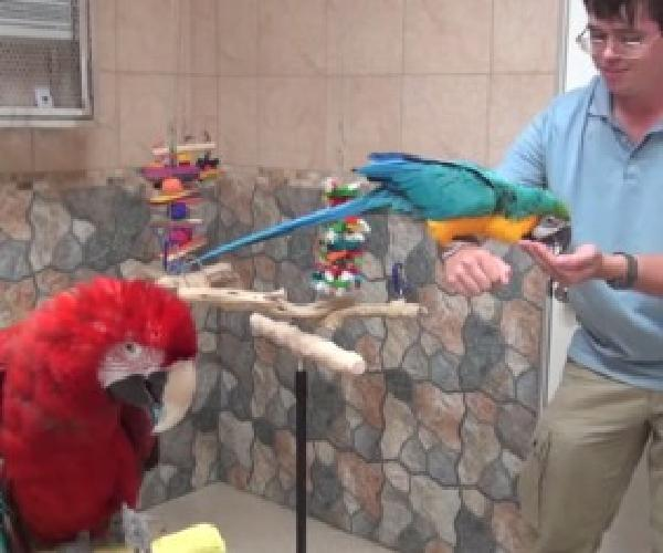 blue and macaw with talking ability for sale