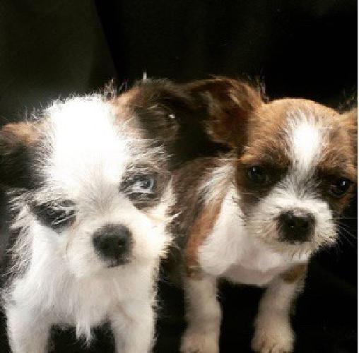 Boston Terrier Mixed Puppies