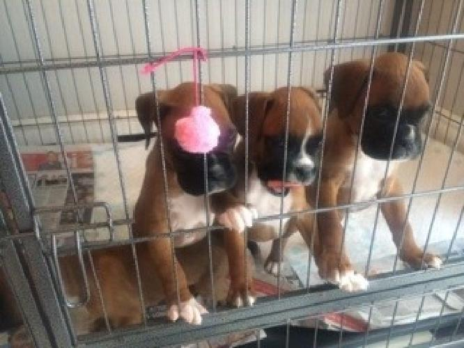 Boxer Dogs and Puppies for sale to good homes