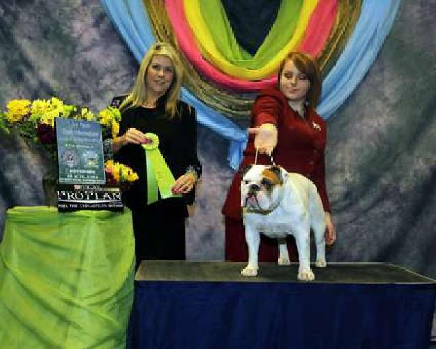 Bulldog puppies ( Health tested parents)