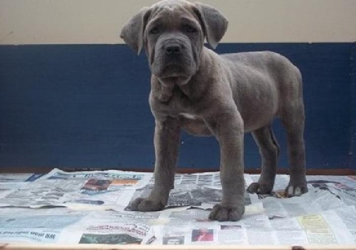 Cane Corso Puppies For Sale In Pinehurst North Carolina Classified