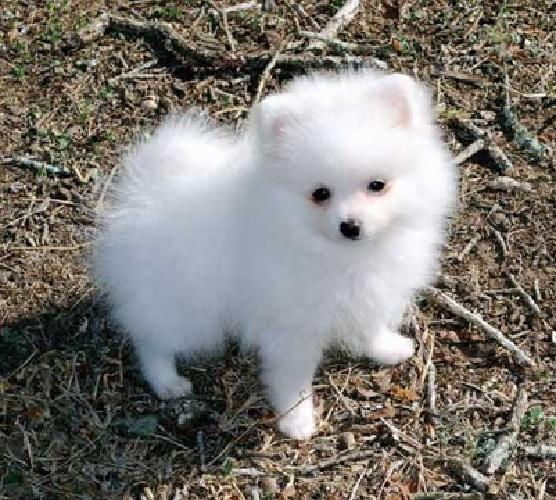 CBVNXBVCXB Pomeranian puppies now ready to go