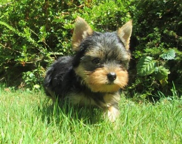 Charming AKC Yorkie Puppies