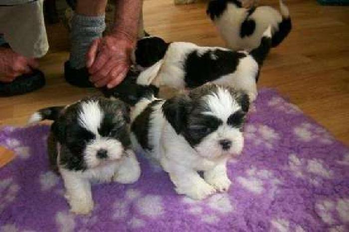 Charming Male and Female Shih Tzus Puppies For Sale
