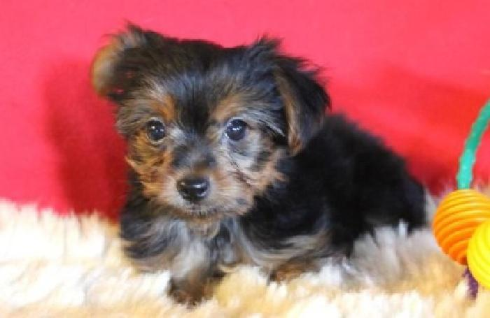 Charming Yorkie Puppies Available 4 you