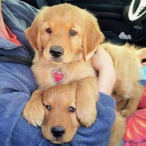 Cheerful Male and Female Golden Retriever Puppies For Sale