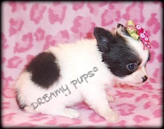 Chihuahua Pups AKC Champion Bloodlines Tiny Long Coat ? Appleheads 1 F & 2 M