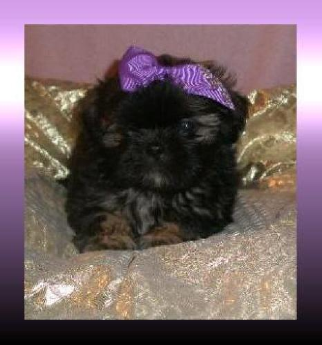 Chin-Tzu Puppies 8 weeks old Highland, Mi