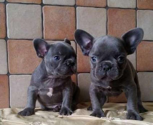Chivalrous M/F French Bulldog Puppies Available