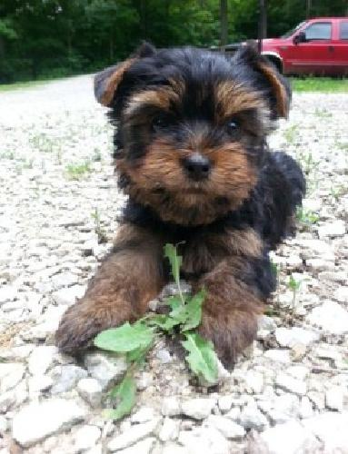 Chocolate Male and female Yorkie puppies