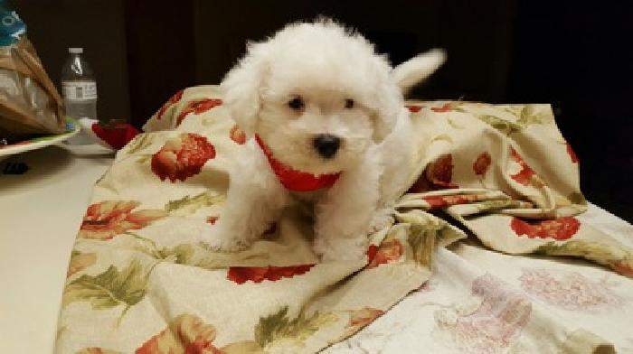 Christmas Bichon Frise puppies ready for their forever home