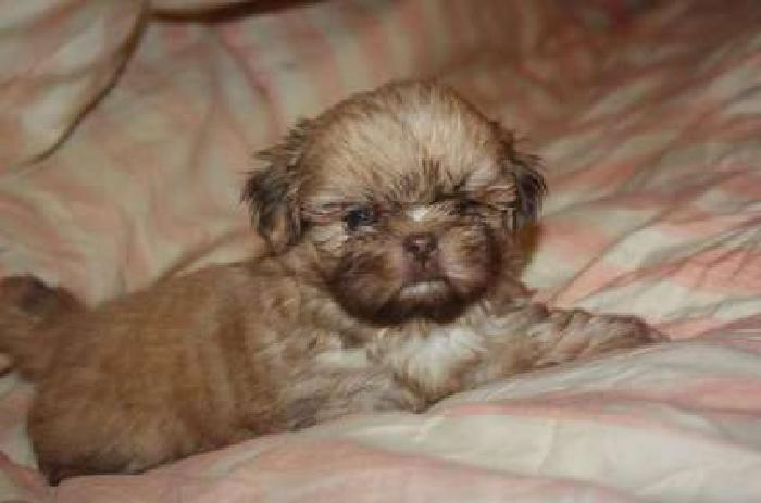 CKC Imperial male shih tzu puppy