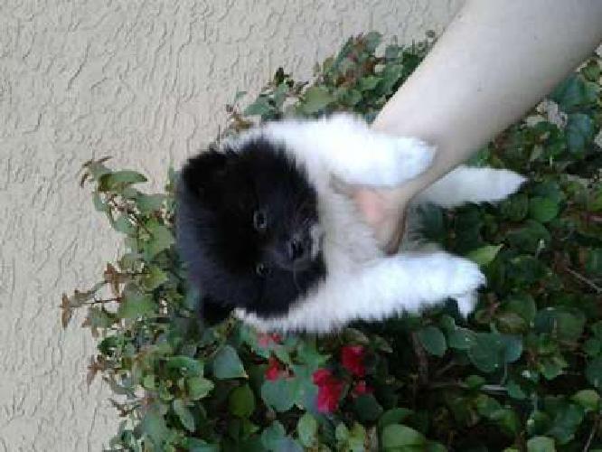 CKC Pomeranian Black and White Parti Female Puppy