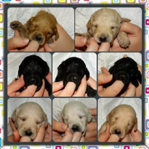 Ckc registered f1b labradoodle puppies