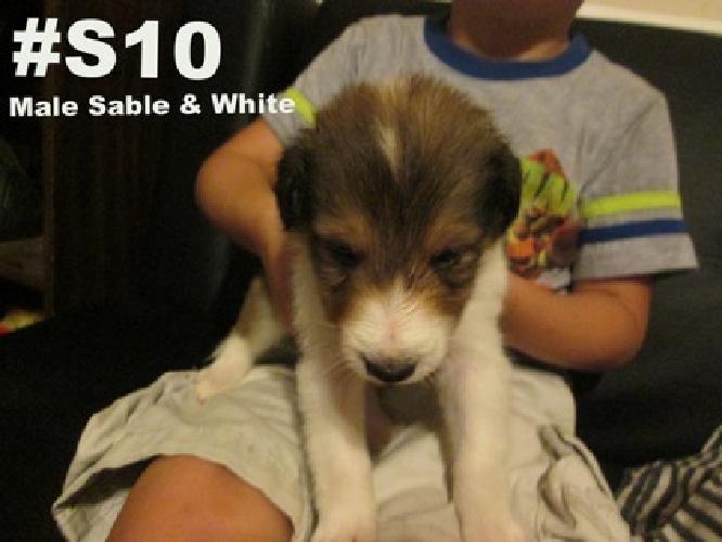 Ckc Sheltie Puppies for Sale for sale in London, Kentucky Classified