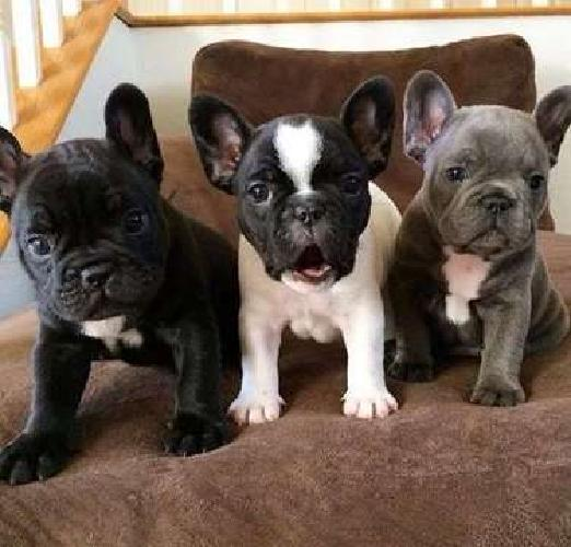 Clean Male and Female French Bulldog Puppies Available