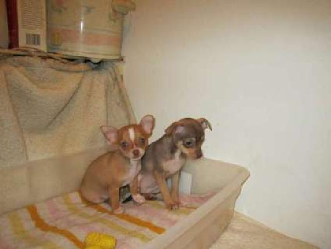 Cute Chihuahua Pups, 10 weeks 1st shots and wormed
