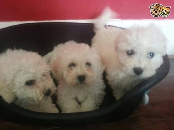 cute lovely Bichon Frise Puppies for sale