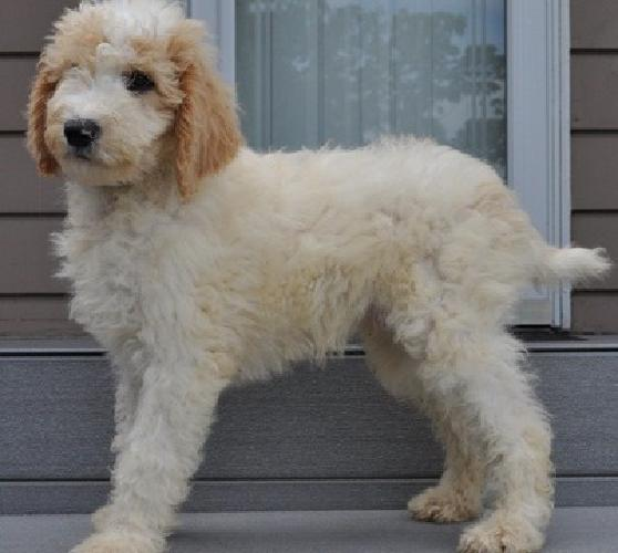 .cxzxzsf Standard Poodle Puppies For Sale
