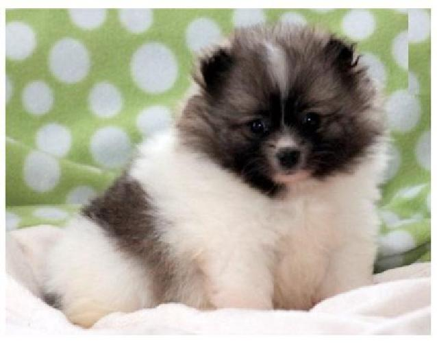 Dangfus White Teacup Pomeranian Pups For Sale for sale in